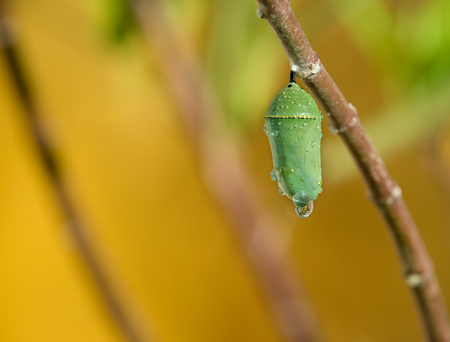 silken: Monarch butterfly pupae covered in morning dew on milkweed branch. Copy space. Stock Photo