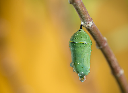 Monarch butterfly pupae covered in morning dew on milkweed branch. Closeup with copy space.  Stock Photo