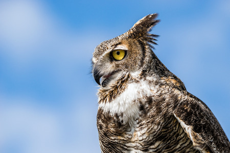 Portrait of Great Horned Owl (Bubo virginianus), aka Tiger Owl, against blue sky background