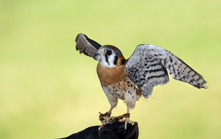 sparrowhawk: American Kestrel (Falco sparverius), the smallest falcon in North America. Soft green background with copy space.