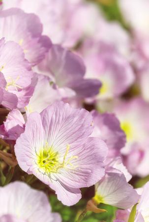 Pink Evening Primroses (oenothera speciosa) aka pinkladies wildflowers blooming on spring meadow, closeup.