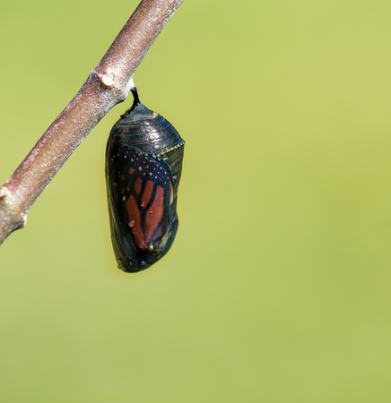 Monarch butterfly chrysalis getting ready to emerge on milkweed branch. Natural green background with copy space. Stock Photo - 77694926