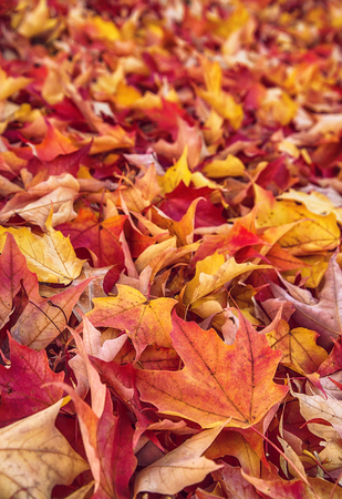 autumn colour: Colorful autumn leaves nature background, shallow depth of field