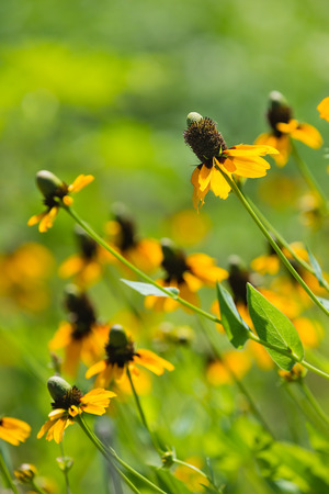 coneflowers: Clasping-leaved Coneflowers (Dracopis amplexicaulis) blooming in spring. Shallow depth of field. Stock Photo