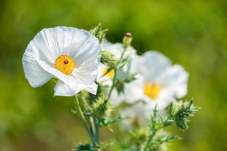 White Prickly Poppy (Argemone albiflora) wildflowers blooming in spring