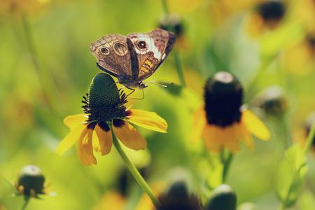 Common Buckeye butterfly (Junonia coenia) feeding on yellow coneflowers in spring
