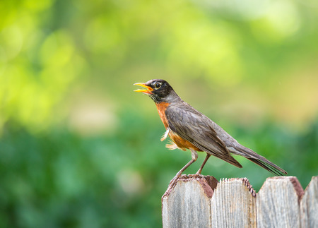 turdus: American robin (Turdus migratorius) perched on wood fence. Natural green background with copy space.