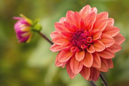 Fiore di Dahlia con gocce d & # 39 ; acqua sui petali dopo pioggia Archivio Fotografico