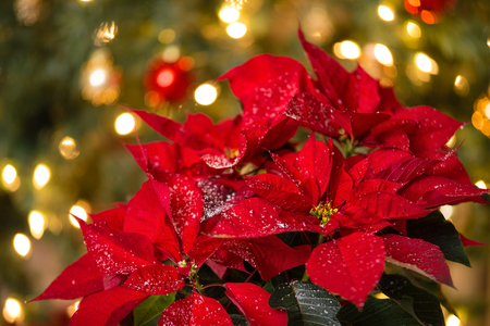 Red Poinsettia (Euphorbia pulcherrima), Christmas Star flower with decorative snow. Festive Christmas tree background.