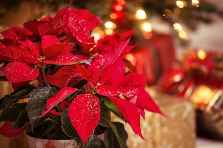 Red Poinsettia (Euphorbia pulcherrima), Christmas Star flower, with decorative snowflakes on the leaves. Festive red and golden Christmas background with tree lights and presents. Foto de archivo