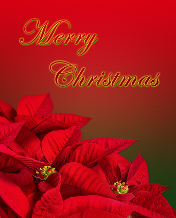 Close up of a red poinsettia, Christmas Star flower (Euphorbia pulcherrima). Isolated on red and green background with Merry Christmas greeting text.