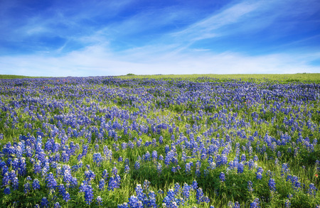 Texas Bluebonnet field blooming in the spring. Blue sky with clouds. Zdjęcie Seryjne