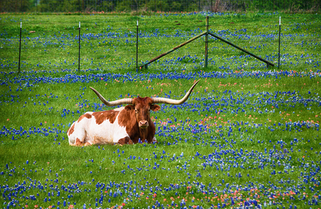 Texas longhorn cattle in bluebonnet wildflower pasture in the spring Archivio Fotografico