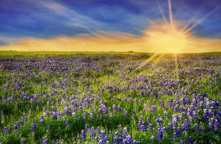 Texas Bluebonnet field blooming in the spring at sunset