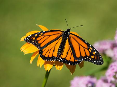 Newly emerged male Monarch butterfly (Danaus plexippus) on yellow coneflower in the garden