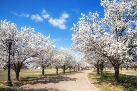 White Bradford pear trees blooming along a street in the Texas spring. Sunny day with beautiful blue sky and white clouds.