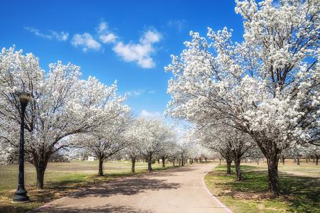 Witte Bradford-perenbomen die langs een straat in de lente van Texas bloeien. Zonnige dag met mooie blauwe lucht en witte wolken.