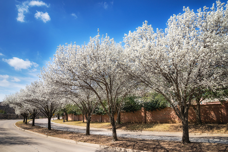 White Bradford pear trees blooming along a curvy street in the Texas spring. Sunny day with beautiful blue sky and white clouds.
