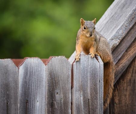 Cute Eastern fox squirrel (Sciurus niger) sitting on a wooden fence in the backyard. Natural green background with copy space.