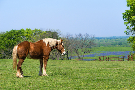 Belgian Draft Horse standing on green Texas spring pasture. A fence, trees, and bluebonnet field background against blue sky.