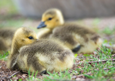 Cute Canada goose gosling sitting in the grass 版權商用圖片