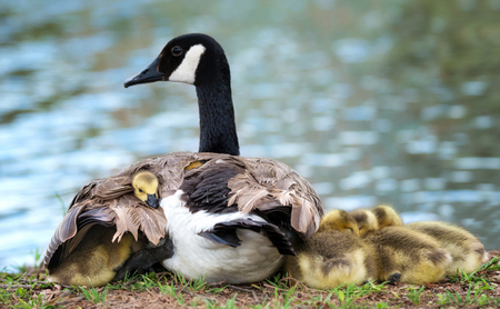 Baby Canada goose goslings snuggling under the wing of the protective mother goose. Natural lake environment as background with copy space.