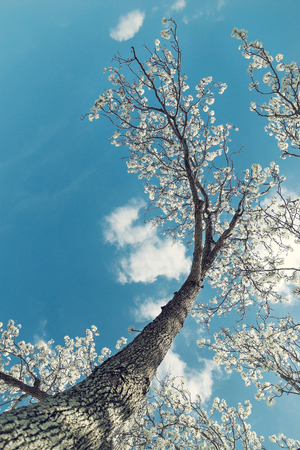 White Bradford pear tree blossoms in the Texas spring. Upward view with blue, sunny sky and white clouds. Vintage filter effects, copy space.