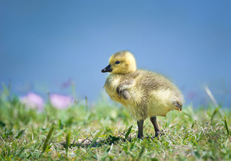 Cute newborn Canada goose gosling standing in the grass on a beautiful spring day. Blue lake water background with copy space.