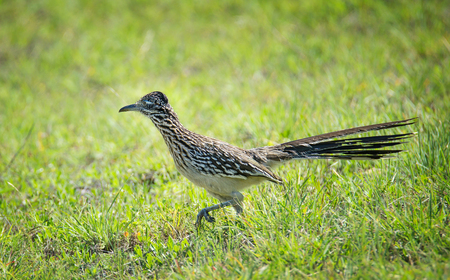 The greater roadrunner (Geococcyx californianus) bird running through the grass in springtime Texas Stock Photo