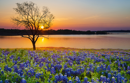 Beautiful Texas spring bluebonnet sunset over a lake. Blooming bluebonnet wildflower field and a lonely tree silhouette. Stock fotó - 103146404