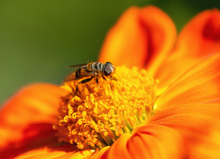 Flower Fly collecting pollen or nectar on Mexican sunflower, closeup.