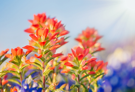 Close-up of Indian Paintbrush wildflowers. Stok Fotoğraf
