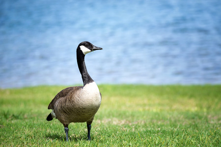 Canada Goose (Branta canadensis) standing on the grass in the park. Blue lake water background. Stok Fotoğraf