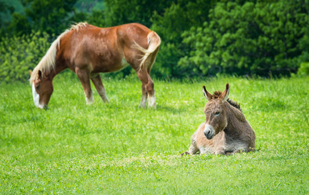 Donkey sitting on green pasture in Texas spring. Belgian draft horse grazing in the background.