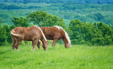 Two Belgian Draft Horses grazing on green Texas pasture in the spring. 写真素材