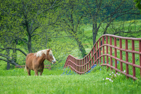 Belgian Draft Horse grazing by a fence on green Texas bluebonnet and wildflower pasture in the spring. 写真素材
