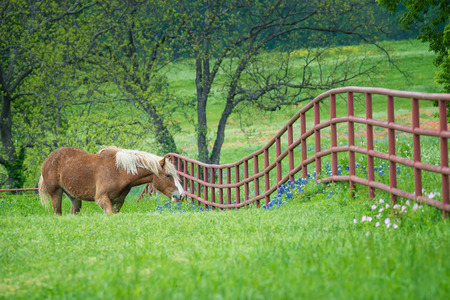 Belgian Draft Horse grazing by a fence on green Texas bluebonnet and wildflower pasture in the spring. Banco de Imagens