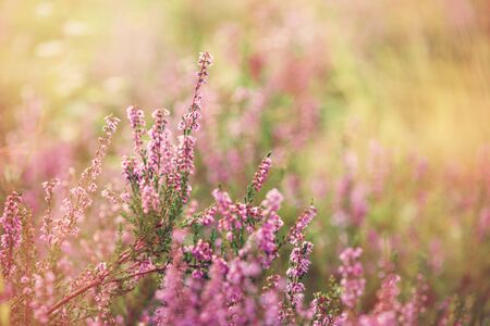 Forest heather (calluna vulgaris) flowering at sunset in the fall.