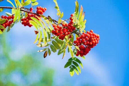 Rowan tree branch in the autumn.