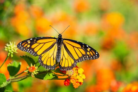 Monarch butterfly (Danaus plexippus) on lantana flowers during the spring migration in Texas.