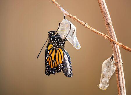 Monarch butterfly (danaus plexippus) emerging from the chrysalis on milkweed branch