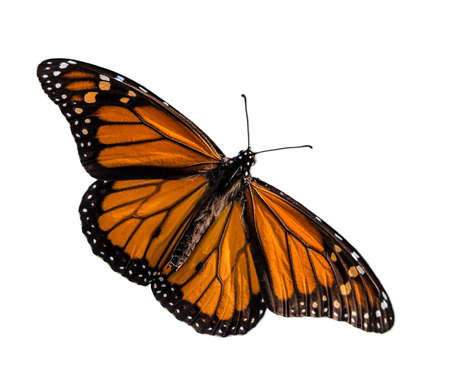 Male Monarch butterfly (Danaus plexippus) wings open isolated on white background