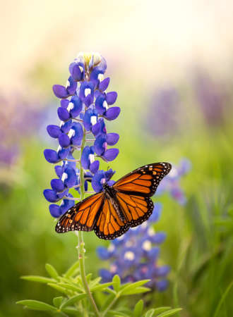 Monarch butterfly (Danaus plexippus) on Texas Bluebonnet flower (Lupinus texensis). Texas concept with two Texas symbols.