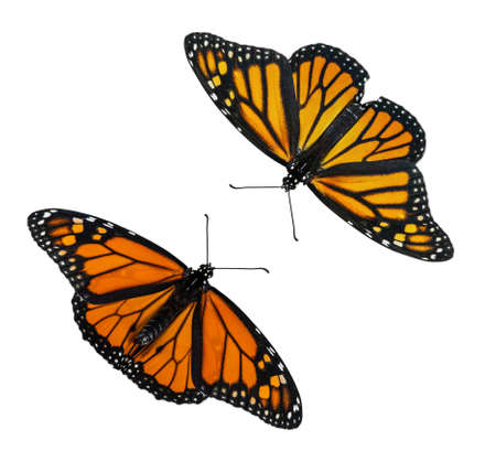 Male and female Monarch butterflies (Danaus plexippus) wings open isolated on white background