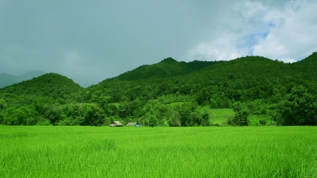Rice field with cottage Farmer 2 units                                 photo