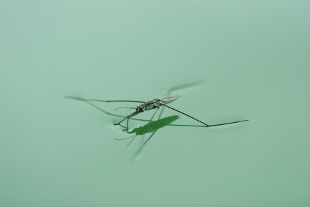 tense: Water spider or pond skater floating on the water surface.