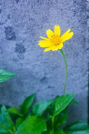 creeping: creeping daisy ( singapore daisy)