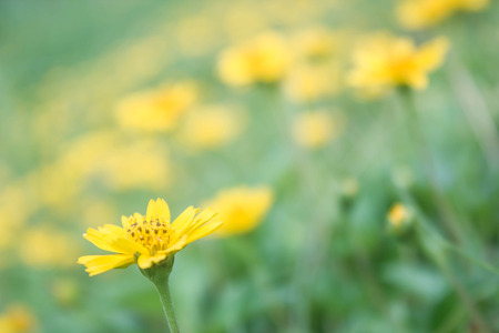 creeping: Field of creeping daisy