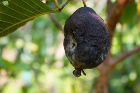 guayaba: Guayaba podrida en el �rbol de guayaba, guayaba podrida