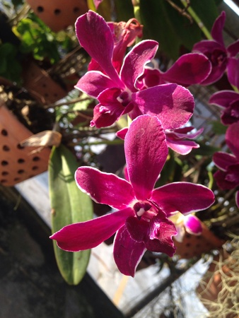close: Close up violet orchid